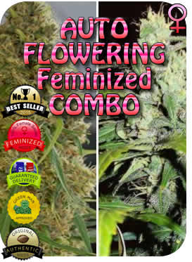 Combination Auto Flowering Seeds